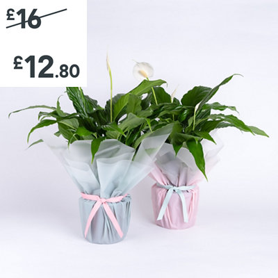 Gift Wrapped Peace Lily