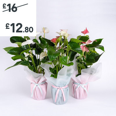 Gift Wrapped Flamingo Flower