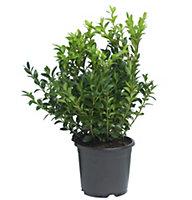 B&Q Box bush