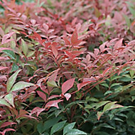 Nandina domestica in Plastic pot