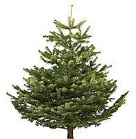 Small Nordman fir Cut christmas tree