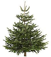Medium Nordman fir Cut christmas tree