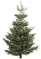 Large Nordman fir Real christmas tree