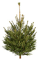 Small Norway spruce Cut christmas tree