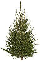 Medium Norway spruce Cut christmas tree