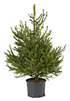 Medium Norway spruce Real christmas tree