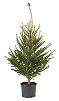 Large Norway spruce Real christmas tree