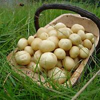 "Second Early ""Maris Peer"" Potato seeds"