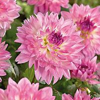 """Kordessa"" Dahlia Flower bulb"