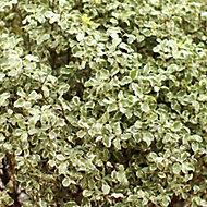 Pittosporium