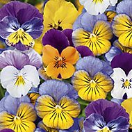 20 cell Viola Assorted Autumn Bedding plant, Pack of 2