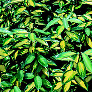 Elaeagnus limelight in Plastic pot
