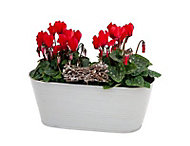 Cyclamen in Metal container