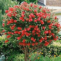 Verve Bottle bush