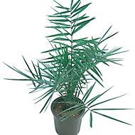 Verve Phoenix palm