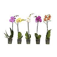 B&Q Phalaenopsis