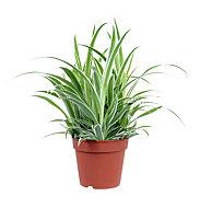 B&Q Spider plant