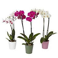 B&Q Twin stem orchid