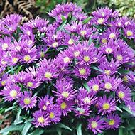Verve Aster nursery plants