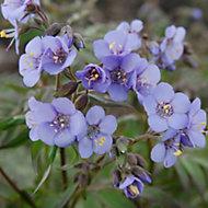 Verve Polemonium nursery plant