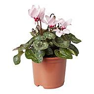 Cyclamen Autumn Bedding plant, 13cm Pot, Pack of 4