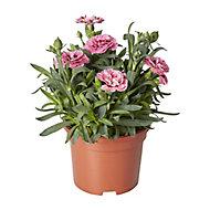 Dianthus Autumn Bedding plant, 10.5cm Pot, Pack of 3