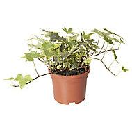 Climbing Ivy Autumn Bedding plant, 10.5cm Pot, Pack of 3