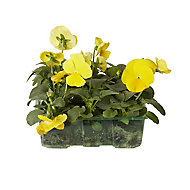 9 piece Pansy Autumn Bedding plant, Pack of 4