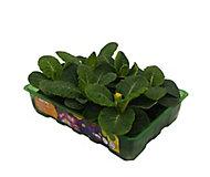 6 piece Primrose Autumn Bedding plant, Pack of 2