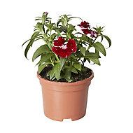 Dianthus & ivy Autumn Bedding plant, 10.5cm Pot, Pack of 3