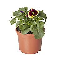 Pansy & primrose Autumn Bedding plant, 10.5cm Pot, Pack of 6