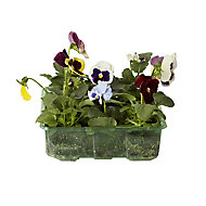 9 piece Pansy & viola Autumn Bedding plant, Pack of 4