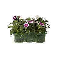 9 piece Sweet william Autumn Bedding plant, Pack of 4