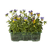 9 piece Viola Autumn Bedding plant, Pack of 4