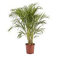 Butterfly palm in 24cm Pot