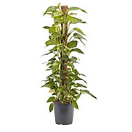 GoodHome Devils ivy 24cm