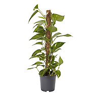 GoodHome Devils ivy 19cm
