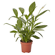 Peace lily in 12cm Pot