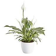 Peace lily in 14cm Pot