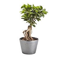 Ficus ginseng bonsai in 17cm Pot