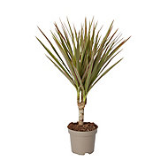 Madagascar dragon tree in 10.5cm Pot