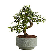 Japanese elm bonsai in 15cm Pot