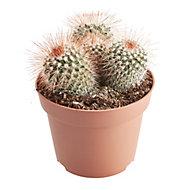 GoodHome Mammalaria flowering cactus in 12cm Pot