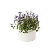 Bellflower in 12cm Pot