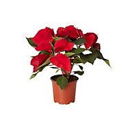 Red Poinsettia 10.5cm