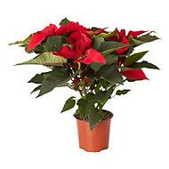 Red Poinsettia 13cm