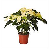 White Poinsettia 13cm