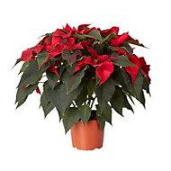 Red Poinsettia 17cm