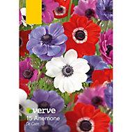 Anemone De Caen Bulbs, Pack of 15