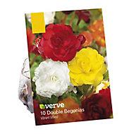 Begonia double vibrant mix Flower bulb